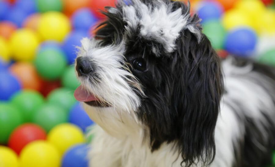 best service dog breeds for PTSD