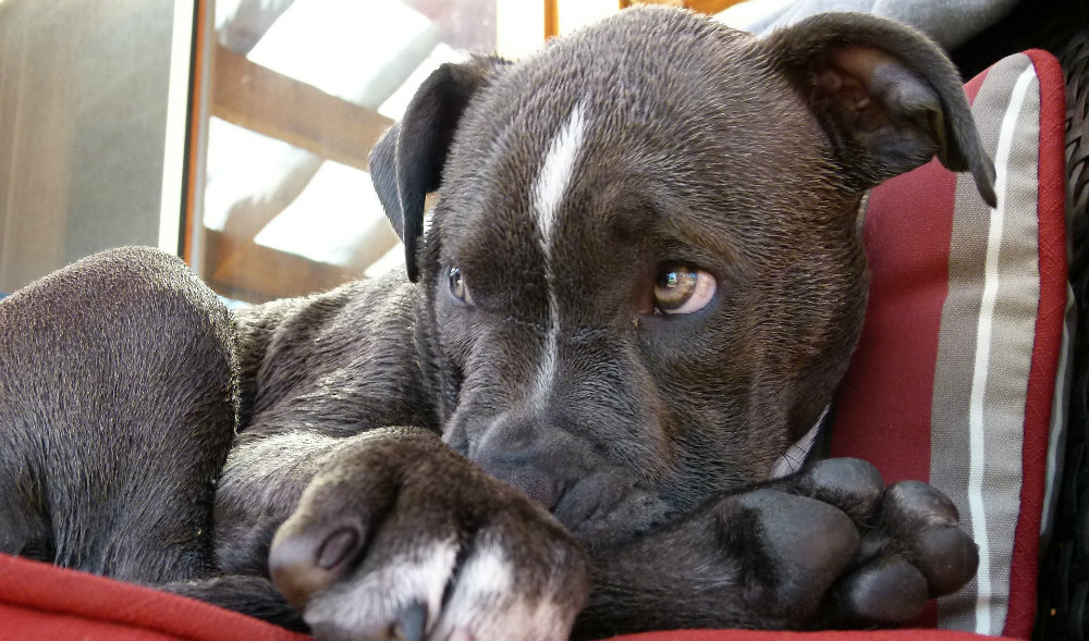 can Pitbulls be service dogs